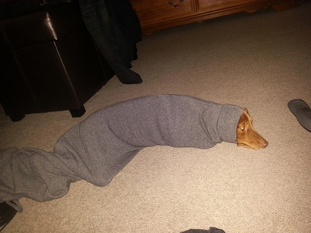 My Dog Managed To Get Herself Stuck In The Sleeve Of My Sweater