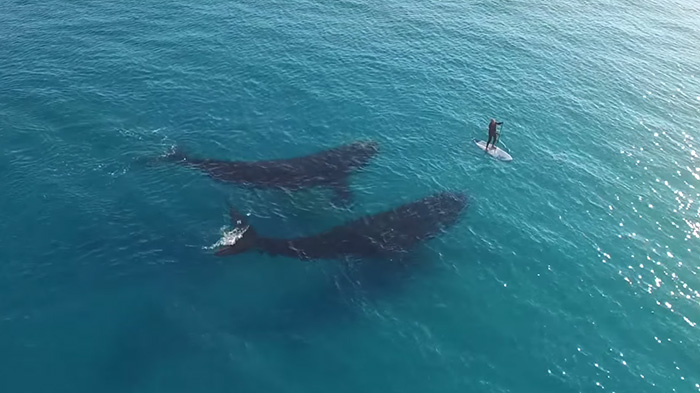 Stunning Drone Footage Captures Giant Whales Wondering What To Do With A Tiny Human