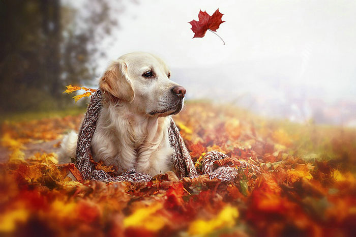 Autumn Dog: Me And My Golden Retriever Love This Time Of The Year