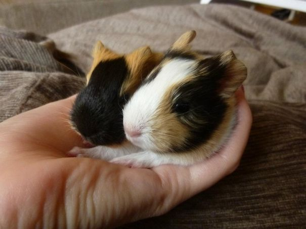 3-days Old Guinea Pigs