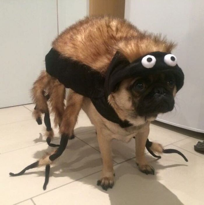 Funny Dress-Up Pug