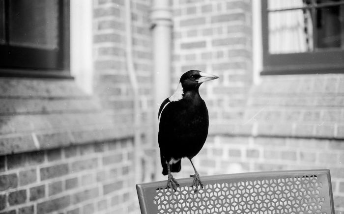 Magpie Lunch Date