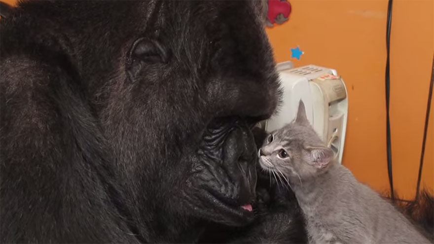 Koko The Gorilla Adopts 2 Baby Kittens After Being Unable
