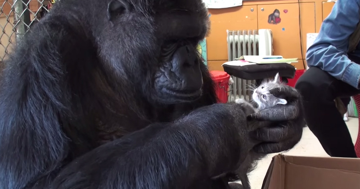 Koko The Gorilla Adopts 2 Baby Kittens After Being Unable To Have Her Own Kids