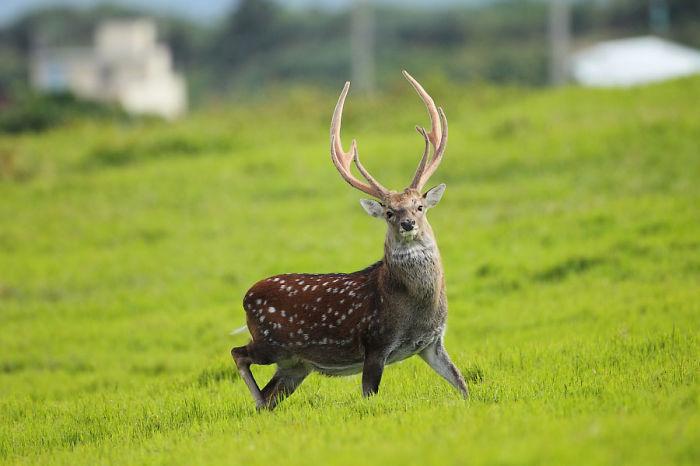 My Dad Ran Into Formosan Sika Deer In Kenting, Taiwan