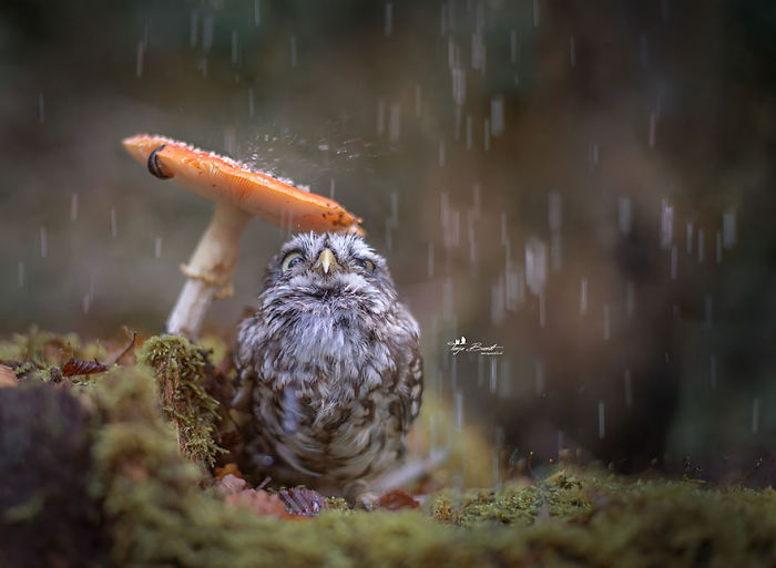 Cute Tiny Owl Goes Viral So We Interviewed The Photographer (10 Pics)