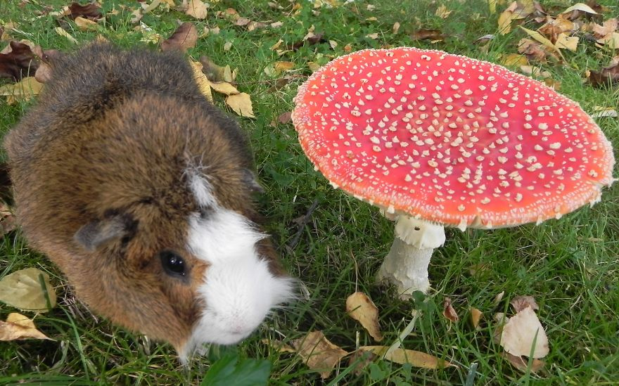 Guinea Pig Brommel's Walk Through The Autumn Garden