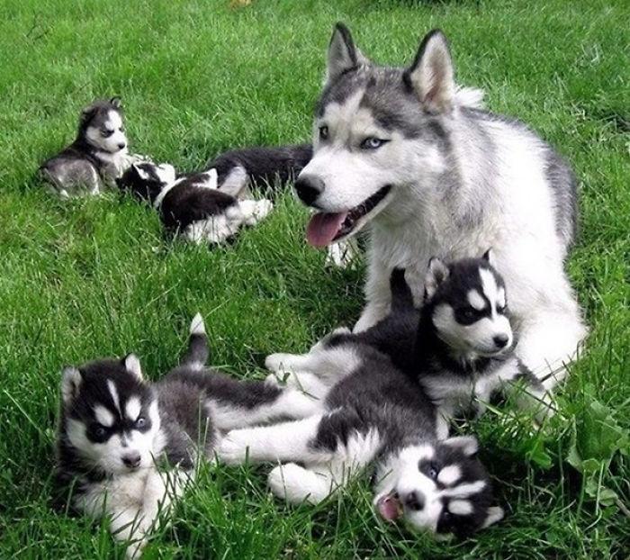 Cachorros Y Madre Husky