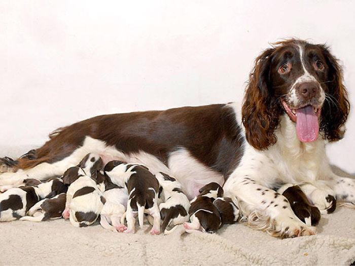 Mamá Spaniel Con Sus Cachorros