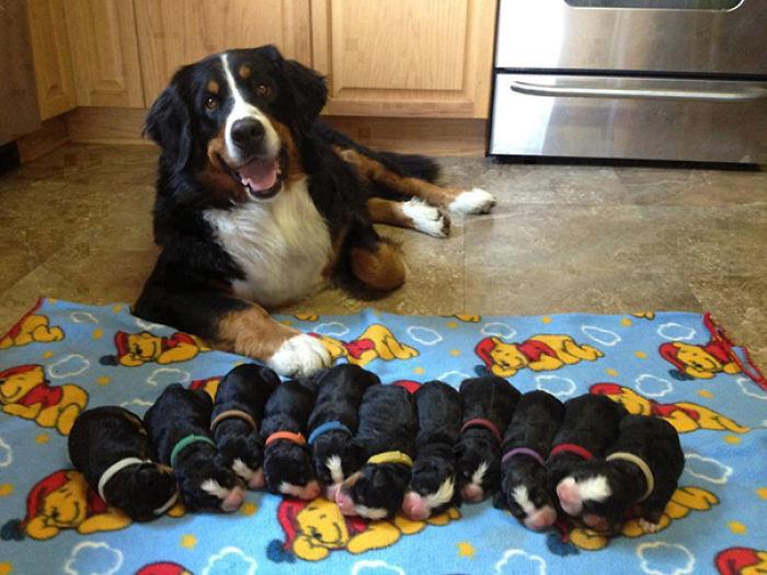 Orgullosa Mamá Boyero De Berna Y Sus Cachorros