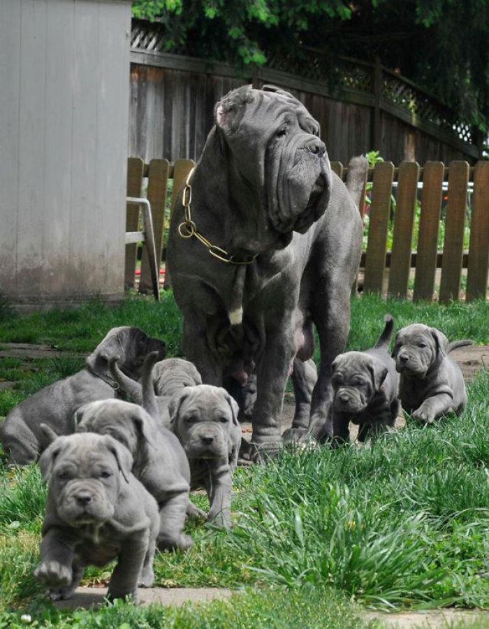 Desfile De Cachorros De Mastín Neopolitano