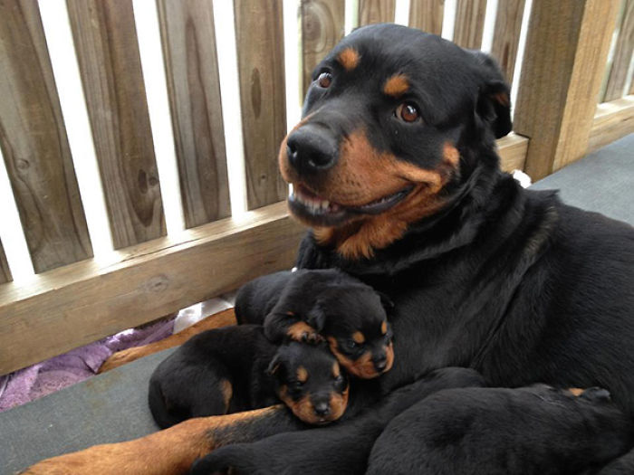 Cachorros De Rottweiler Con Su Mami