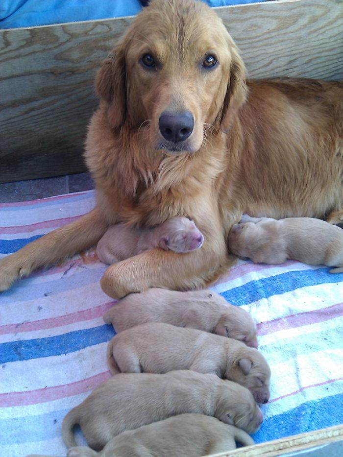 Mi Golden Retriever Y Sus Cachorros De 3 Días