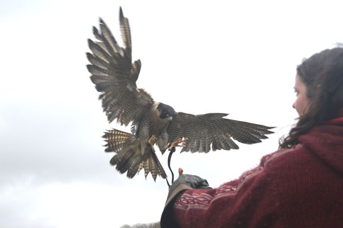 Queen Of The Sky: My Friend Saved A Wounded Falcon And Let Her Fly Free