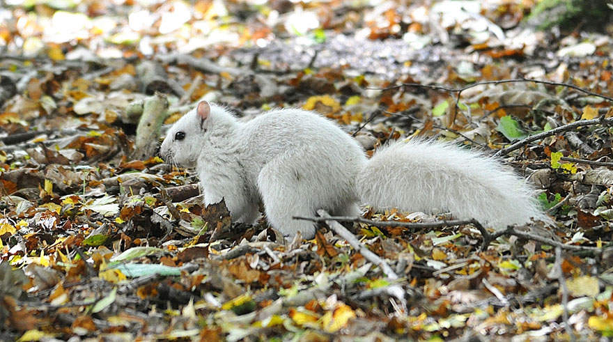 rare-white-squirrel-photo-andrew-fulton-marbury-country-park-uk-10