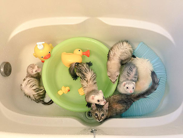 Rescue Kitten Adopted By Ferrets Thinks Its A Ferret Too Eye - Rescued kitten adopted by ferrets now thinks shes a ferret too