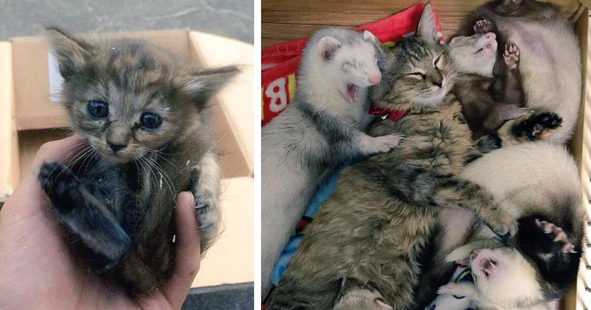 Rescue Kitten Adopted By Ferrets Thinks Its A Ferret Too - Rescued kitten adopted by ferrets now thinks shes a ferret too