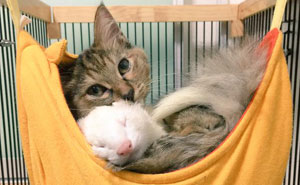 Rescue Kitten Adopted By 5 Ferrets Thinks It's A Ferret Too