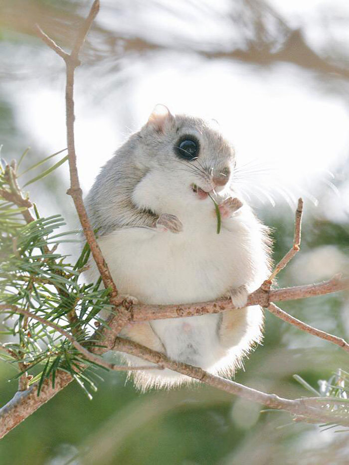 siberian-japanese-dwarf-flying-squirrel-1