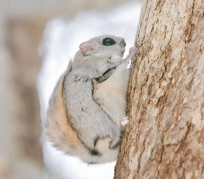 siberian-japanese-dwarf-flying-squirrel-3