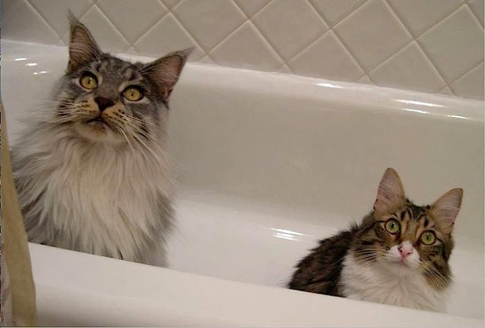 Maine Coon Next To Another Cat