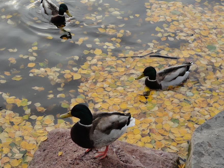 Wild Ducks In Autumn Leaves