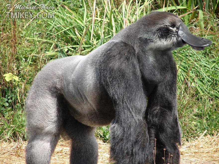 Gorillapus