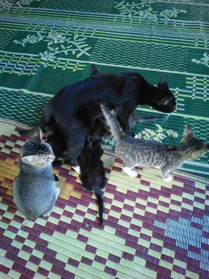 Mom Needs Some Time Alone But Kittens Aren't Fully Charges Yet. Myanmar Jumping Cat Monastery.