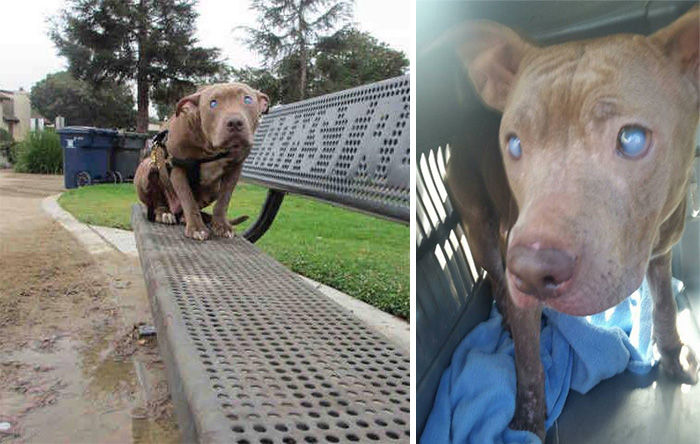 abandoned-blind-pit-bull-poly-rescued-10