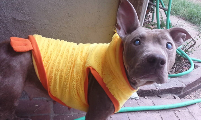 abandoned-blind-pit-bull-poly-rescued-3