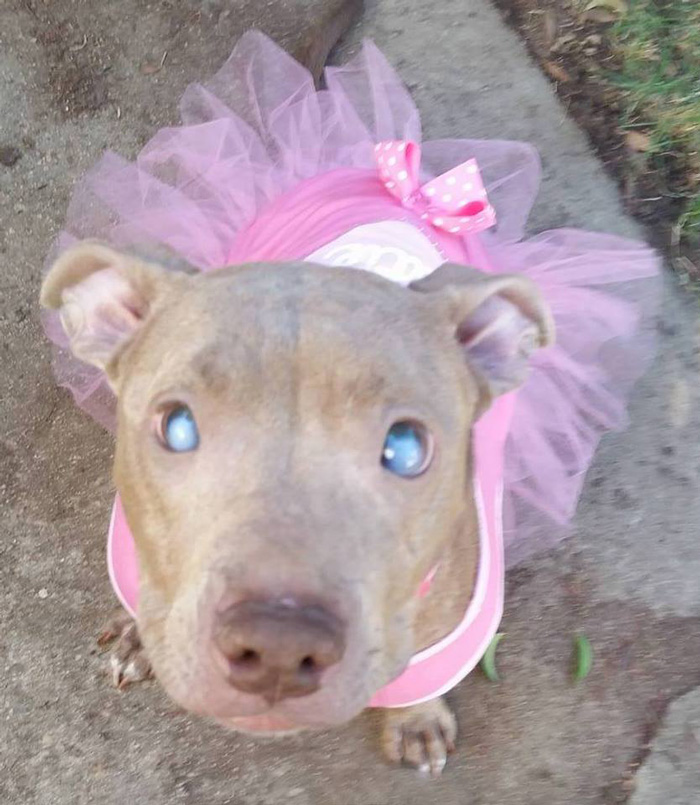 abandoned-blind-pit-bull-poly-rescued-6