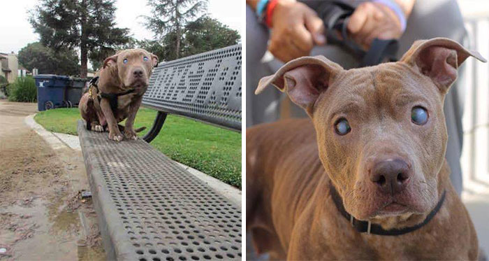 Blind Pitbull Abandoned On Park Bench After Giving Birth Finally Gets The Love She Deserves