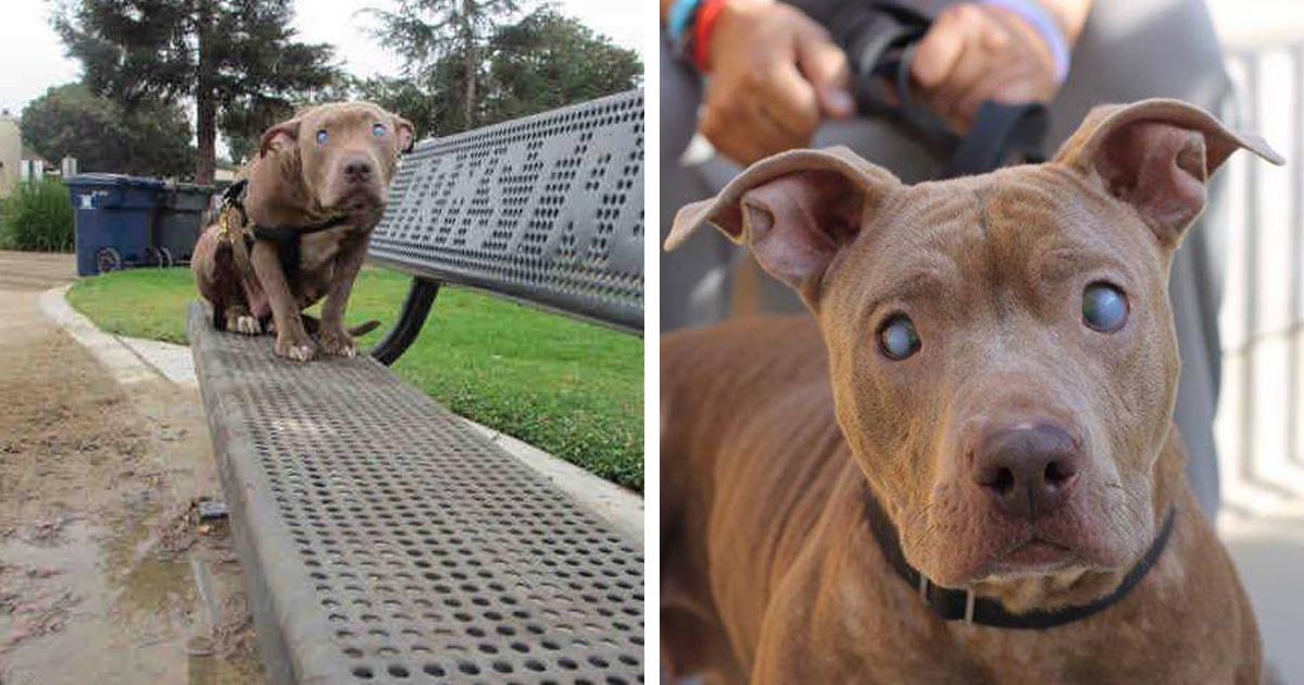 Blind Pitbull Abandoned On Park Bench After Giving Birth Finally ...