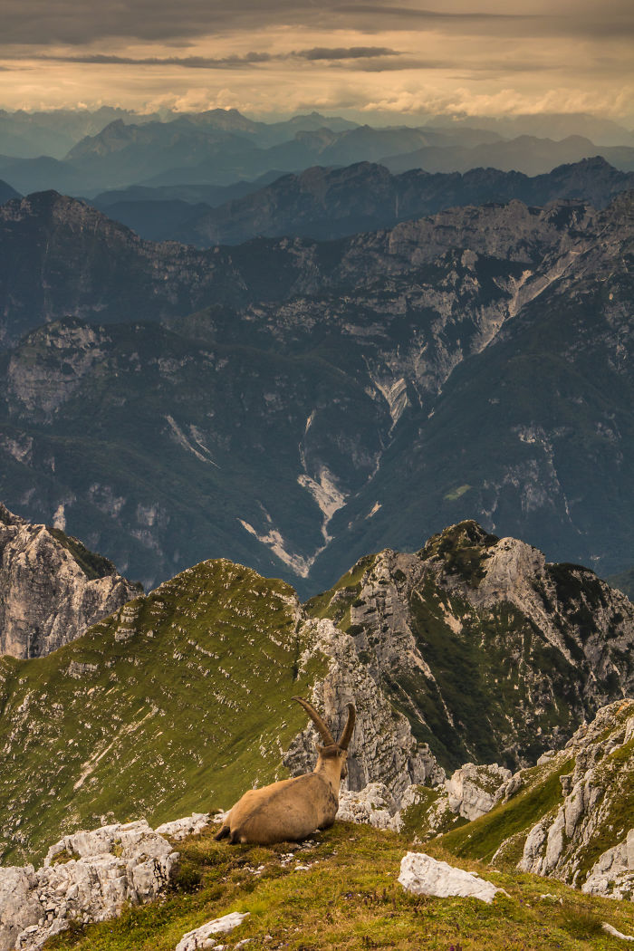 Alpine Ibex Enjoying Sunset Over The Alps