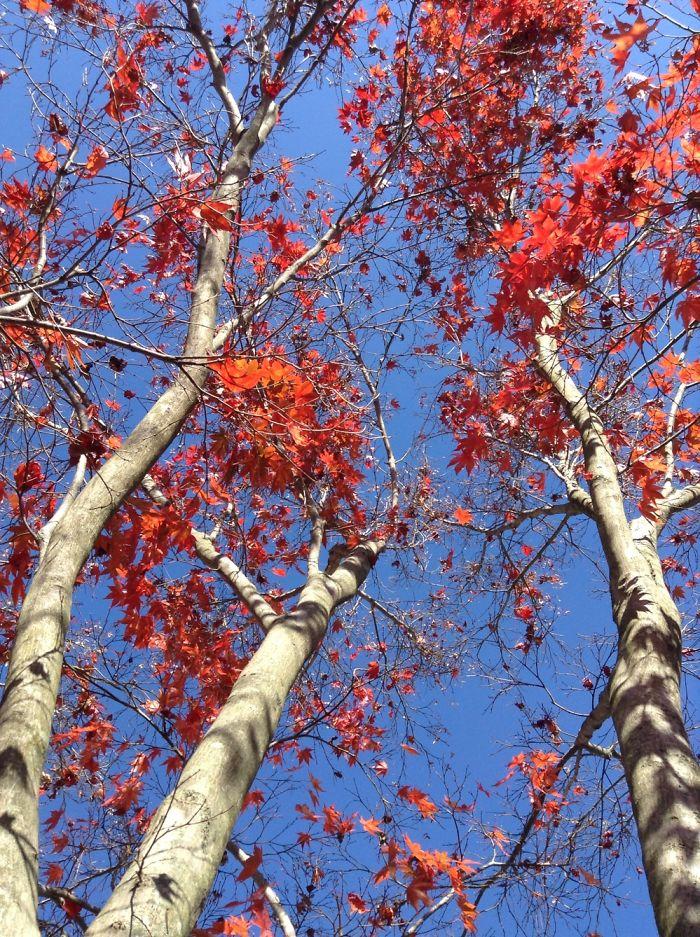 Autumn Maple Tree Photos.