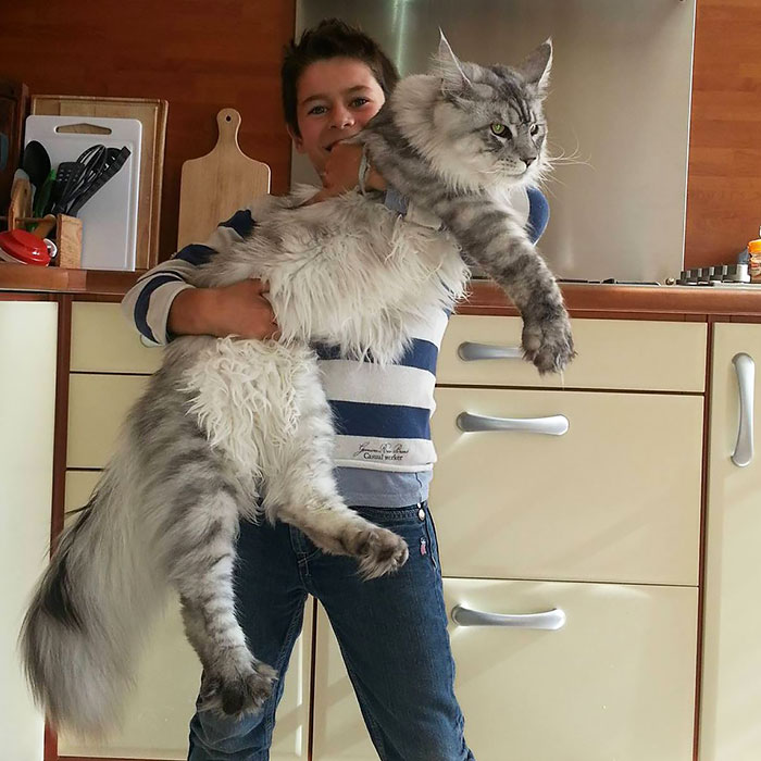 142 Maine Coon Cats That Will Make Your Cat Look Tiny