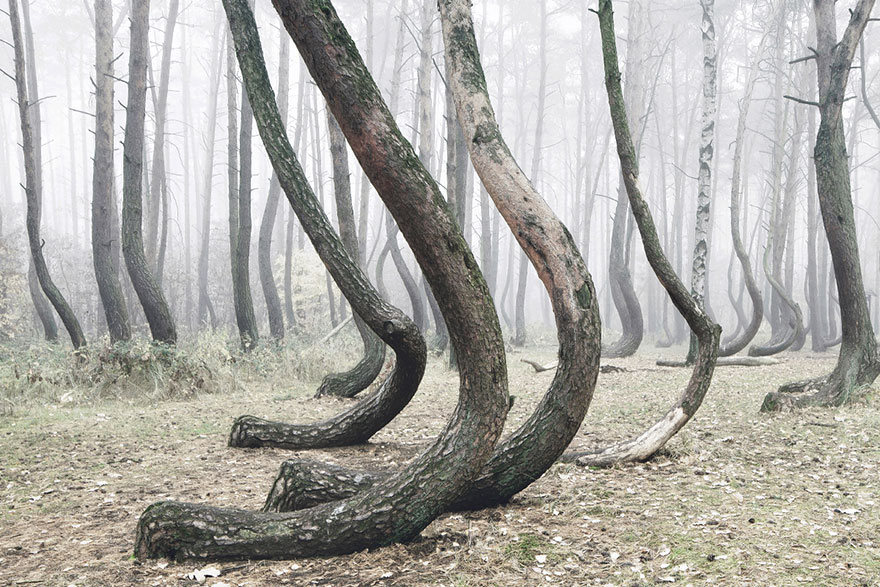 crooked-forest-krzywy-las-kilian-schonberger-poland-2