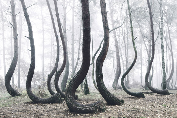 Mysterious Forest Of 400 Crooked Trees In Poland Is Still A Mystery For Scientists