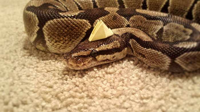 Paper Top Python!