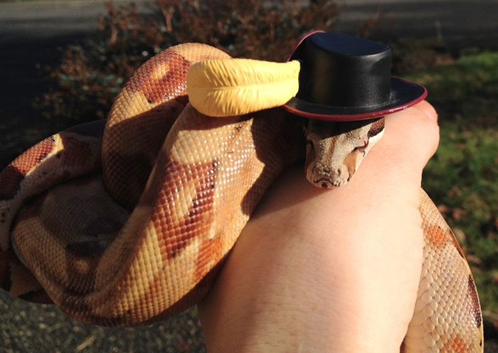 My Hypo Boa Constrictor Hades Looking Fabulous In A Muskateer Hat