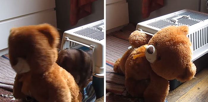 Determined Dachshund Tries To Pull His Giant Teddy Bear Inside His Carrier