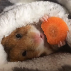 Adorable Japanese Hamster Eating A Carrot Before Sleeping Is Taking Over The Internet