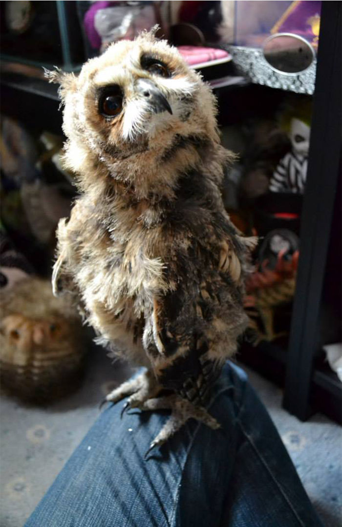 i-rescued-a-mexican-striped-owl-named-loki-and-she-imprinted-to-me-8__700