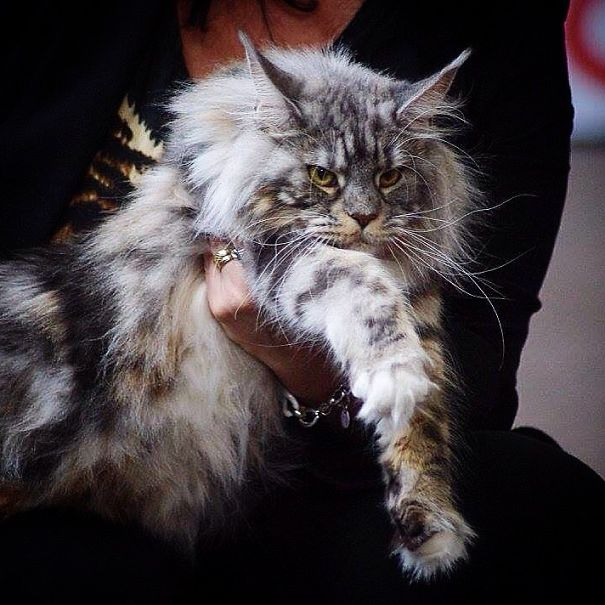 Jay-zee Maine Coon Female 22 Month