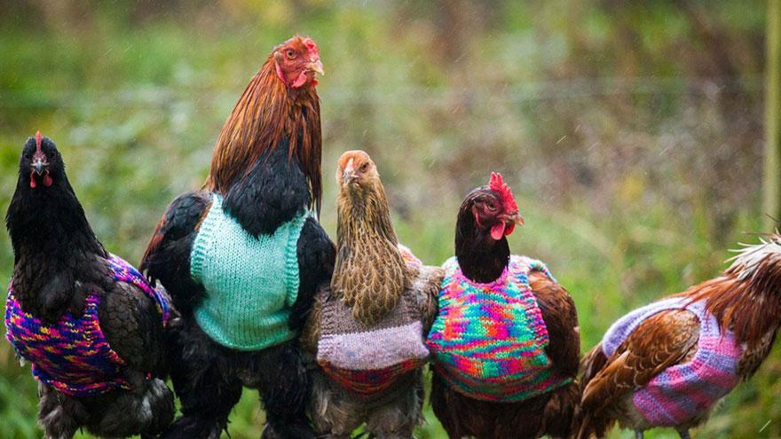 knits-tiny-chicken-jumpers-battery-hens-nicola-congdon-cornwall-2