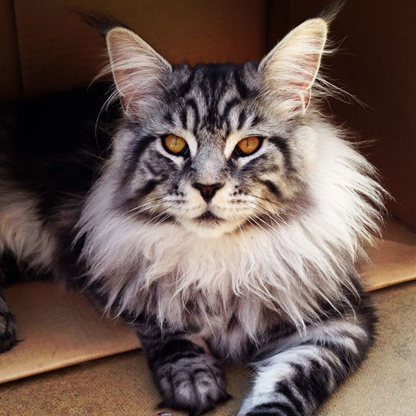 Maine Coon Cat Looking Magnificent