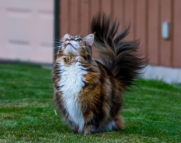 My Friend's Fabulous Maine Coon