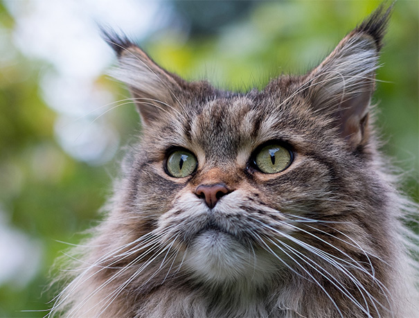 Close Up Maine Coon Photo