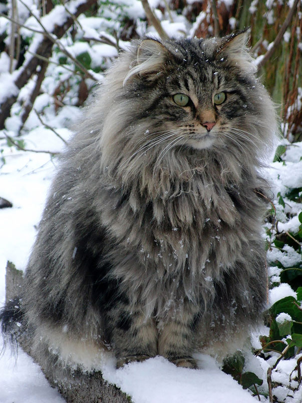 Maine Coon In The Winter