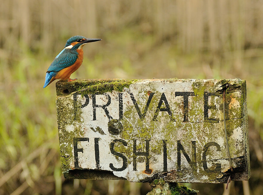 perfect-kingfisher-dive-photo--wildlife-photography-alan-mcfayden-10